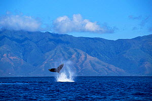 Humpback whale {Megaptera novaeangliae} performing a peduncle throw. Pacific (taken under NMFS research permit 882 issued by Hawai Whale Research Foundation) - Doug Perrine