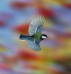 Great Tit (Parus major) flying off with a peanut. UK, Digital composite  -  Kim Taylor