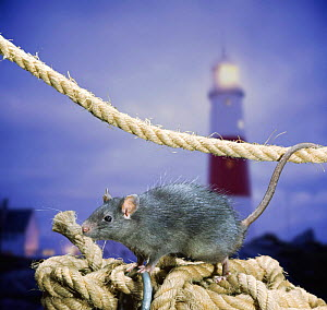 Black Rat (Rattus rattus) on coiled rope. Digital composite. - Kim Taylor