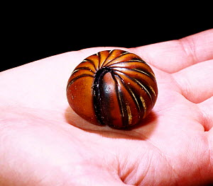 Giant Pill Millipede rolled in ball on hand. Borneo.  -  Mark Taylor