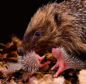 Hedgehog carrying newborn to new nest (Erinaceus europaeus) captive, UK.  -  Jane Burton