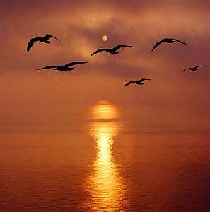 Sunrise over the sea with seagulls, UK.  -  Mark Taylor