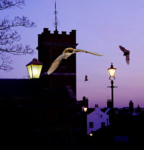 Common pipistrelles {Pipistrellus pipistrellus} flying round Church tower. UK. Digital composite  -  Kim Taylor