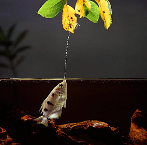 Archer fish / Archerfish {Toxotes chatereus} jetting water to catch spider prey, Captive.  -  Kim Taylor