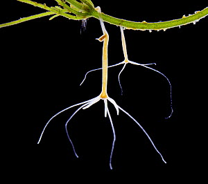 Common hydra {Hydra vulgaris} budding. UK.  -  Kim Taylor