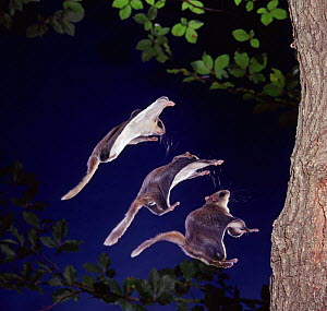 Southern flying squirrel {Glaucomys volans} landing. Multiple exposure. Captive. UK.  -  Kim Taylor