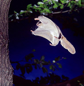 Southern flying squirrel {Glaucomys volans} landing on tree trunk. Captive.  -  Kim Taylor