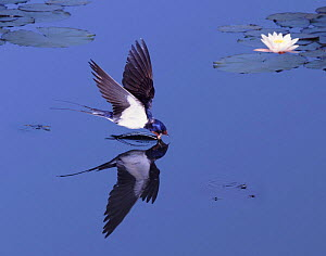 Barn swallow {Hirundo rustica} drinking on the wing. Digitally enhanced.  -  Kim Taylor