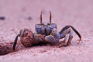 Sand / Ghost crab {Ocypode sp.} excavating burrow, Africa.  -  Kim Taylor