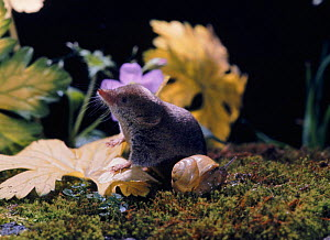Common shrew {Sorex araneus}, Captive. UK.  -  Jane Burton