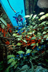Diver and Grunts in airplane wreck, Cozumel, Mexico - Doug Perrine