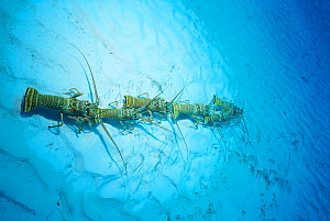 Spiny lobsters {Panulirus argus} annual migration from juvenile to adult habitat, Bahamas - Doug Perrine