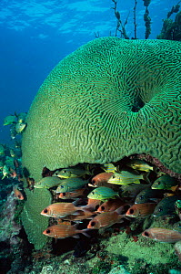 Giant brain coral provides shelter for Grunts and Squirrelfish, Florida Keys, USA.  -  Doug Perrine