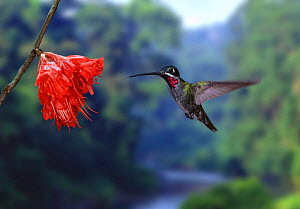 Long billed starthroat {Heliomaster longirostris} Digital composite, Trinidad. - Kim Taylor