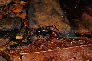 Carpenter ant {Camponotus sp.} on forest floor, Brunei, Borneo. - Daniel Gomez