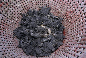 Sea turtle hatchlings in basket before release, Sian Ka'an Biosphere Reserve Mexico. - Daniel Gomez