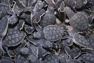 Close-up of baby Sea turtles, Sian Ka'an Biosphere Reserve. Mexico. - Daniel Gomez