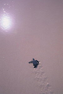 Sea turtle hatchling heading for the sea, Sian Ka'an Biosphere Reserve Mexico. - Daniel Gomez