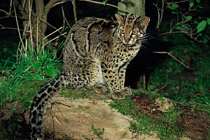 Male Marbled cat {Felis marmorata} sitting on a log. Captive. - Rod Williams