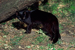 Female Geoffroy's cat {Felis geoffroyi}. Rare melanistic form. Captive. - Rod Williams