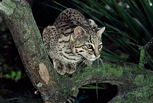 Male Geoffroy's cat {Felis geoffroyi} sitting on branch. Captive. - Rod Williams