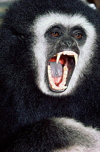 White-handed / Lar gibbon {Hylobates lar} male. Portrait showing teeth. Captive. - Rod Williams