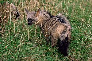 Young male Aardwolf {Proteles cristatus} in long grass. Captive. - Rod Williams