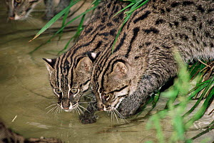 Two young Fishing cats {Prionailurus / Felis viverrinus} drinking. Captive. - Rod Williams