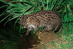 Young Fishing cat {Prionailurus / Felis viverrinus} by water, captive - Rod Williams