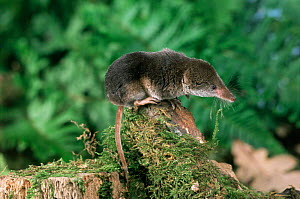 Common shrew {Sorex araneus} on moss covered log. Captive. UK.  -  Andy Sands