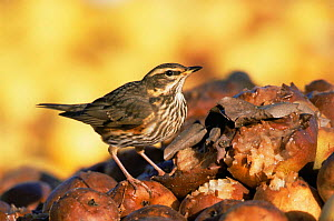 Redwing {Turdus iliacus} feeding on rotting apples. UK. - Andy Sands