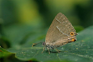 Purple hairstreak butterfly {Quercusia quercus} resting. UK.  -  Andy Sands