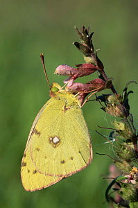 Clouded yellow butterfly {Colias crocea} resting on flower. UK. - Andy Sands