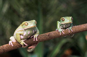 Waxy monkey tree frogs {Phyllomedusa sauvagii} on branch. Captive - Andy Sands