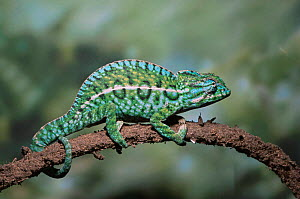 Carpet / Jewel chameleon {Furcifer lateralis} male on a branch. Captive - Andy Sands
