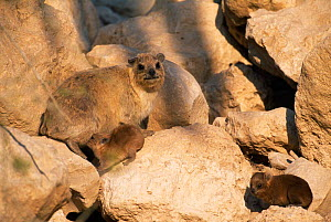 Rock hyrax {Procavia capensis} female with young amongst rocks, Israel. - Niall Benvie