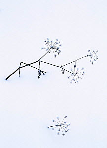 Angelica stems {Angelica sp.} in snow. Norway. - Niall Benvie
