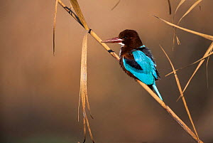 White throated kingfisher {Halcyon smyrnensis gularis} perched on a reed, Israel. - Niall Benvie