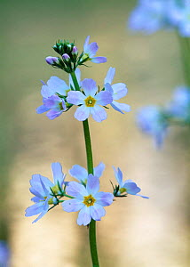 Water violet {Hottonia palustris} Estonia.  -  Niall Benvie
