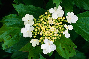 Guelder rose flowers {Viburnum opulus} with insect damaged leaves, UK. - Niall Benvie