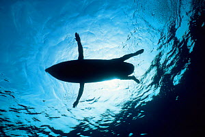 Surfer viewed from below resembles sealion, possibly leading to shark atttack.  -  Doug Perrine