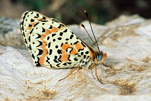 Spotted fritillary butterfly {Melitaea didyma}  Germany.  -  Hans Christoph Kappel