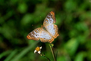 White peacock butterfly {Anartia jatrophae} resting on flower. USA.  -  Hanne & Jens Eriksen
