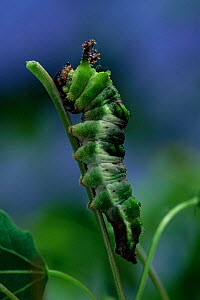 Poplar admiral butterfly larva {Limenitis populi} on leaf. Germany.  -  Hans Christoph Kappel