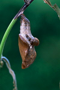 Viceroy butterfly pupa {Limenitis archippus} on leaf stem. USA. Captive.  -  Doug Wechsler