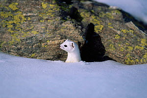 Stoat {Mustela erminea} with white winter coat in snow. Stelvio National Park, Italy.  -  Elio Della Ferrera
