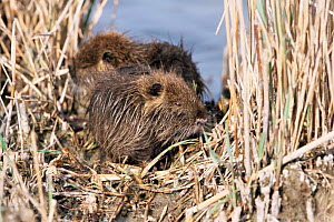 Two young Coypu {Myocastor coypus} resting in areed bed, France. - Paul Hobson
