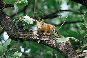 Persian squirrel {Sciurus anomalus} alert on tree branch, Greece.  -  George McCarthy