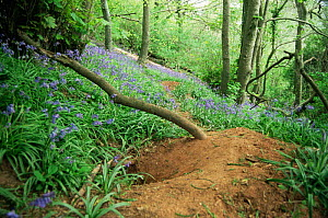 Entrance to an active Badger sett {Meles meles} in spring deciduous woodland with Bluebells flowering, UK. - Kevin J Keatley