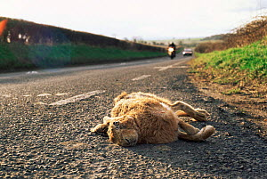 European hare {Lepus europaeus} dead on side of road with passing traffic. UK. Roadkill - GRAHAM HATHERLEY